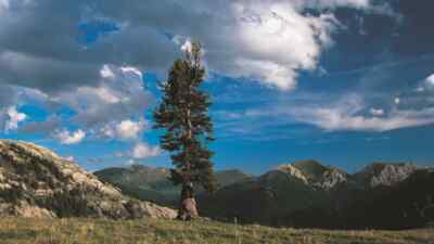 old stone pine