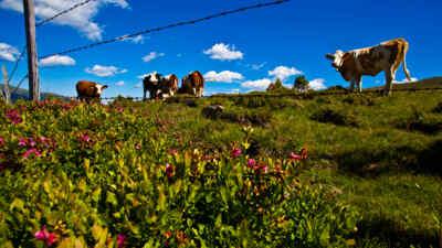 Kühe am Feld, Nockberge
