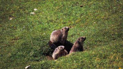 Drei Murmeltiere am Großglockner