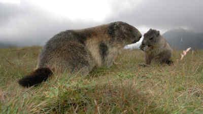 Zwei Murmeltiere nahe der Hochalpenstrasse