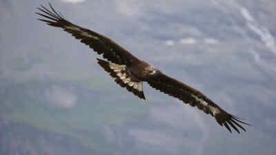 Ein Steinadler im Flug