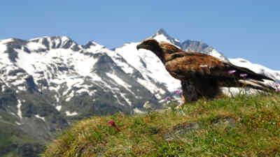 Ein Steinadler auf einer Wiese vor dem Großglockner